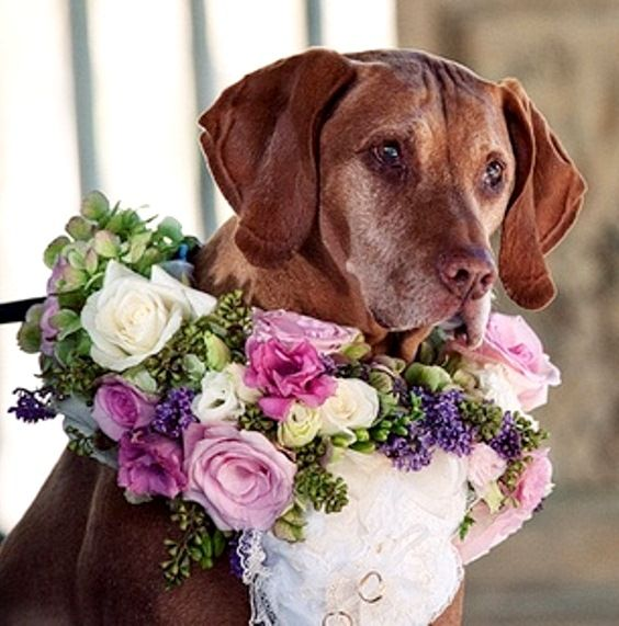 Wedding dog ring bearer